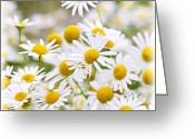 Flora Greeting Cards - Chamomile flowers Greeting Card by Elena Elisseeva