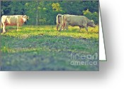 Charolais Greeting Cards - Charolais Greeting Card by Ashley Walker