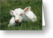 Charolais Greeting Cards - Charolais Calf Greeting Card by David Aubrey