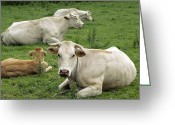 Charolais Greeting Cards - Charolais Cattle Greeting Card by Dirk Wiersma