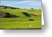 Charolais Greeting Cards - Charolais Cattle Grazing Near Flinders On The Mornington Peninsula, Victoria, Australia Greeting Card by Peter Walton Photography