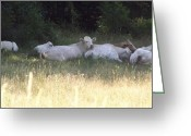 Charolais Greeting Cards - Charolais Cattle Greeting Card by Jim Beattie