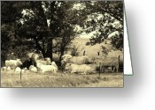 Charolais Greeting Cards - Charolais Cattle Greeting Card by Michele  Bruce-Carter