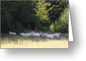 Charolais Greeting Cards - Charolais cattle resting Greeting Card by Jim Beattie