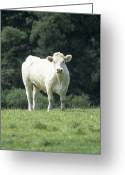 Charolais Greeting Cards - Charolais Cow Greeting Card by David Aubrey