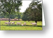 Charolais Greeting Cards - Charolais In The Shade Greeting Card by Jan Amiss Photography