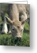 Charolais Greeting Cards - Charolais X Calf Greeting Card by David Aubrey