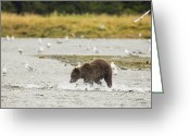 Grizzly Bears Greeting Cards - Chasing Pinks Greeting Card by Tim Grams