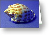 Checkered Greeting Cards - Checkered Helmet Seashell Greeting Card by Frank Wilson