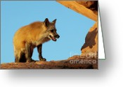 Vulpes Greeting Cards - Checking My Shadow Greeting Card by Sandra Bronstein
