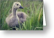 Goose Greeting Cards - Cheeky Goose With His Tongue Out Greeting Card by BlackCatPhotos