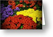 Cultivars Greeting Cards - Cheery Bright Chrysanthemums Greeting Card by Debra  Miller
