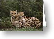 African Animals Greeting Cards - Cheetah 5 Month Old Cub Snuggled Greeting Card by Suzi Eszterhas