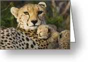 Acinonyx Greeting Cards - Cheetah Acinonyx Jubatus And Cub Greeting Card by Suzi Eszterhas