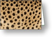 Acinonyx Greeting Cards - Cheetah Acinonyx Jubatus Close-up Greeting Card by Ingo Arndt