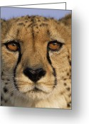 Acinonyx Greeting Cards - Cheetah Acinonyx Jubatus Close Greeting Card by Winfried Wisniewski