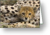 Maasai Mara Greeting Cards - Cheetah Acinonyx Jubatus Cub Portrait Greeting Card by Suzi Eszterhas