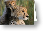 Acinonyx Greeting Cards - Cheetah Acinonyx Jubatus Eight Week Old Greeting Card by Suzi Eszterhas