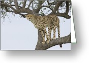 Acinonyx Greeting Cards - Cheetah Acinonyx Jubatus Female Greeting Card by Suzi Eszterhas