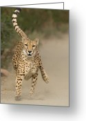 Acinonyx Greeting Cards - Cheetah Acinonyx Jubatus In Mid-stride Greeting Card by San Diego Zoo