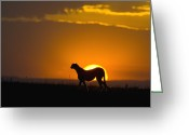 Acinonyx Greeting Cards - Cheetah Acinonyx Jubatus In Silhouette Greeting Card by Suzi Eszterhas