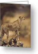 Acinonyx Greeting Cards - Cheetah Acinonyx Jubatus Mother With Greeting Card by Gerry Ellis