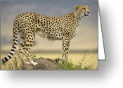 Maasai Mara Greeting Cards - Cheetah Acinonyx Jubatus On Termite Greeting Card by Winfried Wisniewski