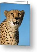 Acinonyx Greeting Cards - Cheetah Acinonyx Jubatus Portrait Greeting Card by Ingo Arndt