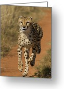 Acinonyx Greeting Cards - Cheetah Acinonyx Jubatus Rescued Greeting Card by Suzi Eszterhas