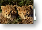 Carnivores Greeting Cards - Cheetah Acinonyx Jubatus Two Cubs Greeting Card by Peter Blackwell