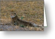 Laying Down Greeting Cards - Cheetah At Rest Greeting Card by Sandra Bronstein