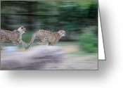 African Cats Greeting Cards - Cheetah Chase Greeting Card by Joseph G Holland