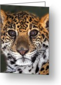 Wildlife Photos Greeting Cards - Cheetah Greeting Card by Craig Incardone
