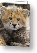 Acinonyx Greeting Cards - Cheetah Cub Acinonyx Jubatus  Greeting Card by Suzi Eszterhas
