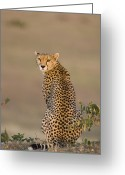 Maasai Mara Greeting Cards - Cheetah Female Maasai Mara Reserve Kenya Greeting Card by Suzi Eszterhas
