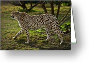 Prowling Greeting Cards - Cheetah  Greeting Card by Garry Gay