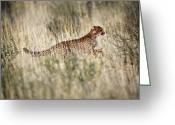 African Wildlife Greeting Cards - Cheetah In Grass Greeting Card by Tony Camacho
