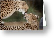 African Cats Greeting Cards - Cheetah Kiss Greeting Card by Joseph G Holland