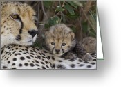 Maasai Mara Greeting Cards - Cheetah Mother And 7 Day Old Cub Maasai Greeting Card by Suzi Eszterhas