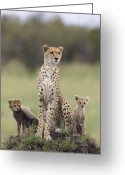 Acinonyx Greeting Cards - Cheetah Mother And Cubs Greeting Card by Suzi Eszterhas