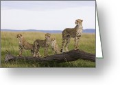 African Animals Greeting Cards - Cheetah Mother Cubs Masai Mara National Greeting Card by Suzi Eszterhas