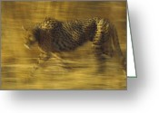 Acinonyx Greeting Cards - Cheetah Running Through Dry Grass Greeting Card by Tim Fitzharris