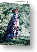 Kansas City Greeting Cards - Cheetah Greeting Card by Steve Karol