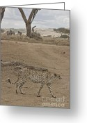 On-the-look-out Greeting Cards - Cheetah Walks by On Looking Zebra Greeting Card by Darcy Michaelchuk