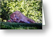 Kansas City Greeting Cards - Cheetahs in Love Greeting Card by Steve Karol