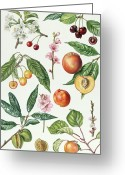 Apricot Painting Greeting Cards - Cherries and other fruit-bearing trees  Greeting Card by Elizabeth Rice