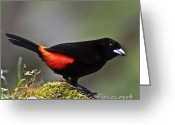 Passerines Greeting Cards - Cherries Tanager Greeting Card by Heiko Koehrer-Wagner
