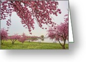 Pink Flower Branch Greeting Cards - Cherry Blossom Greeting Card by Copyright by June Marie Sobrito