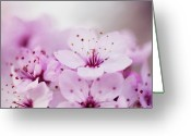 Stamen Greeting Cards - Cherry Blossom Glow Greeting Card by Images by Christina Kilgour
