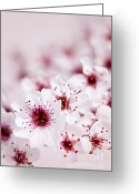 Flowers Photo Greeting Cards - Cherry blossoms Greeting Card by Elena Elisseeva